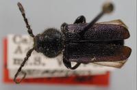 Image of Callidium angustipennis