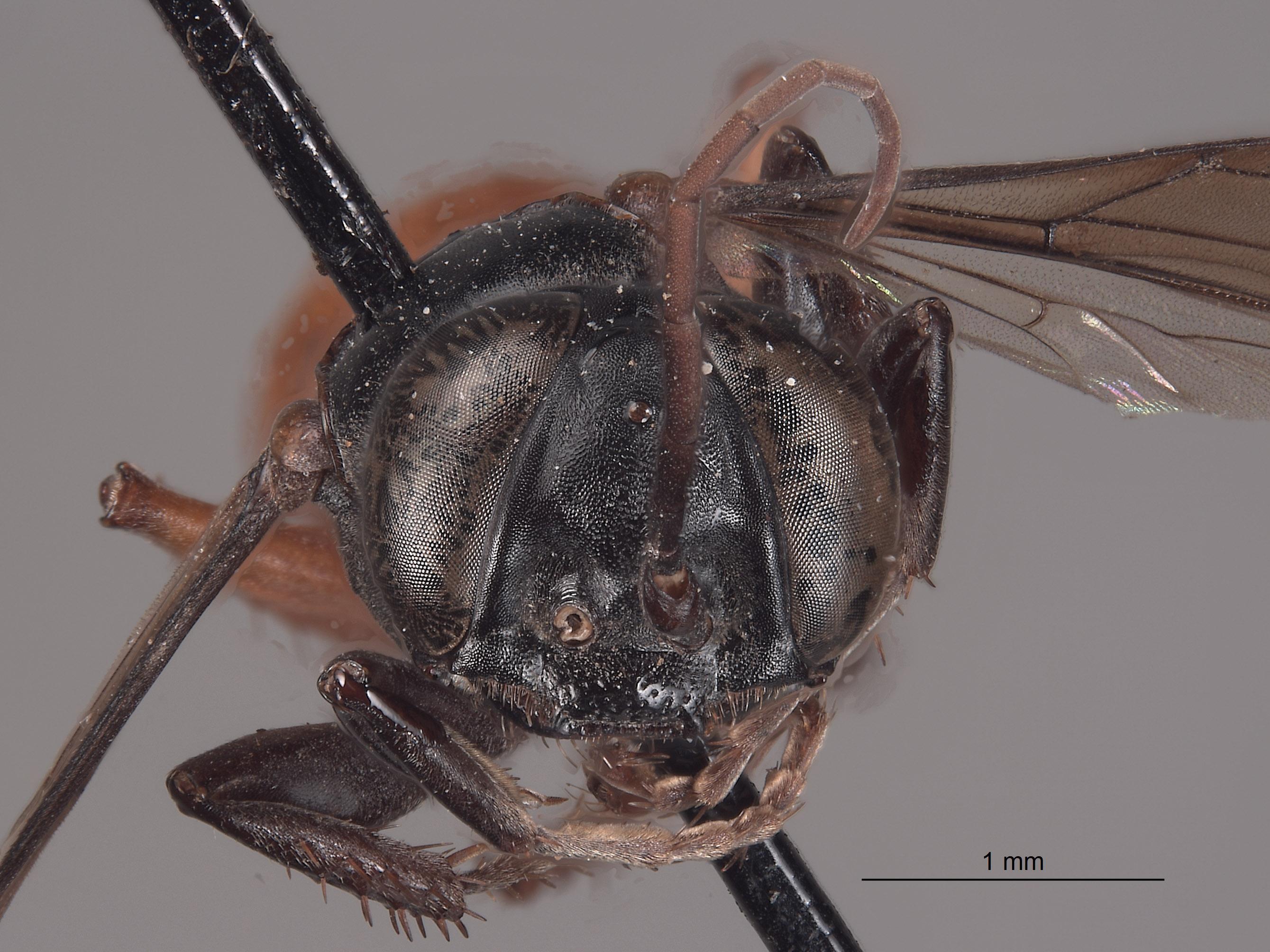 Larropsis bradleyi image