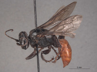 Larropsis corrugata image