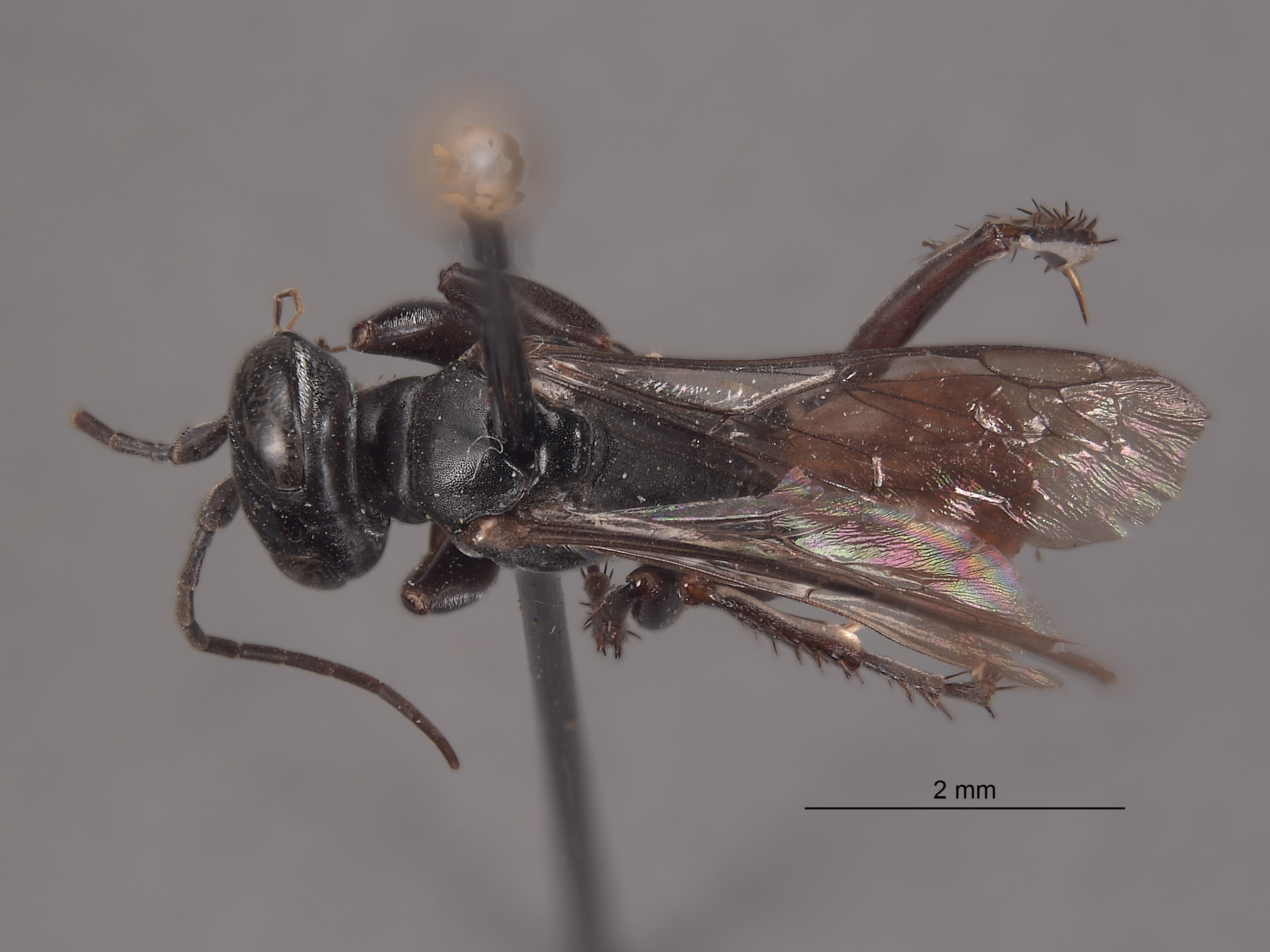 Larropsis granulosa image