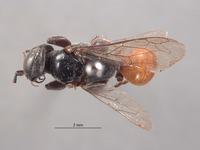 Larropsis platynota image