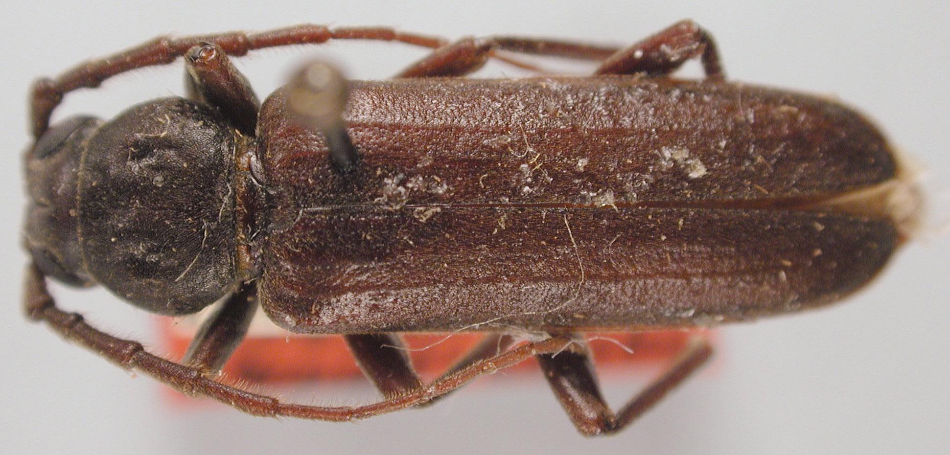 Arhopalus image
