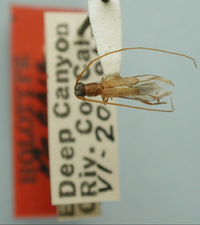 Image of Methia curvipennis