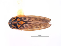 Image of Gypona secura