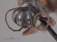 Larropsis interocularis image