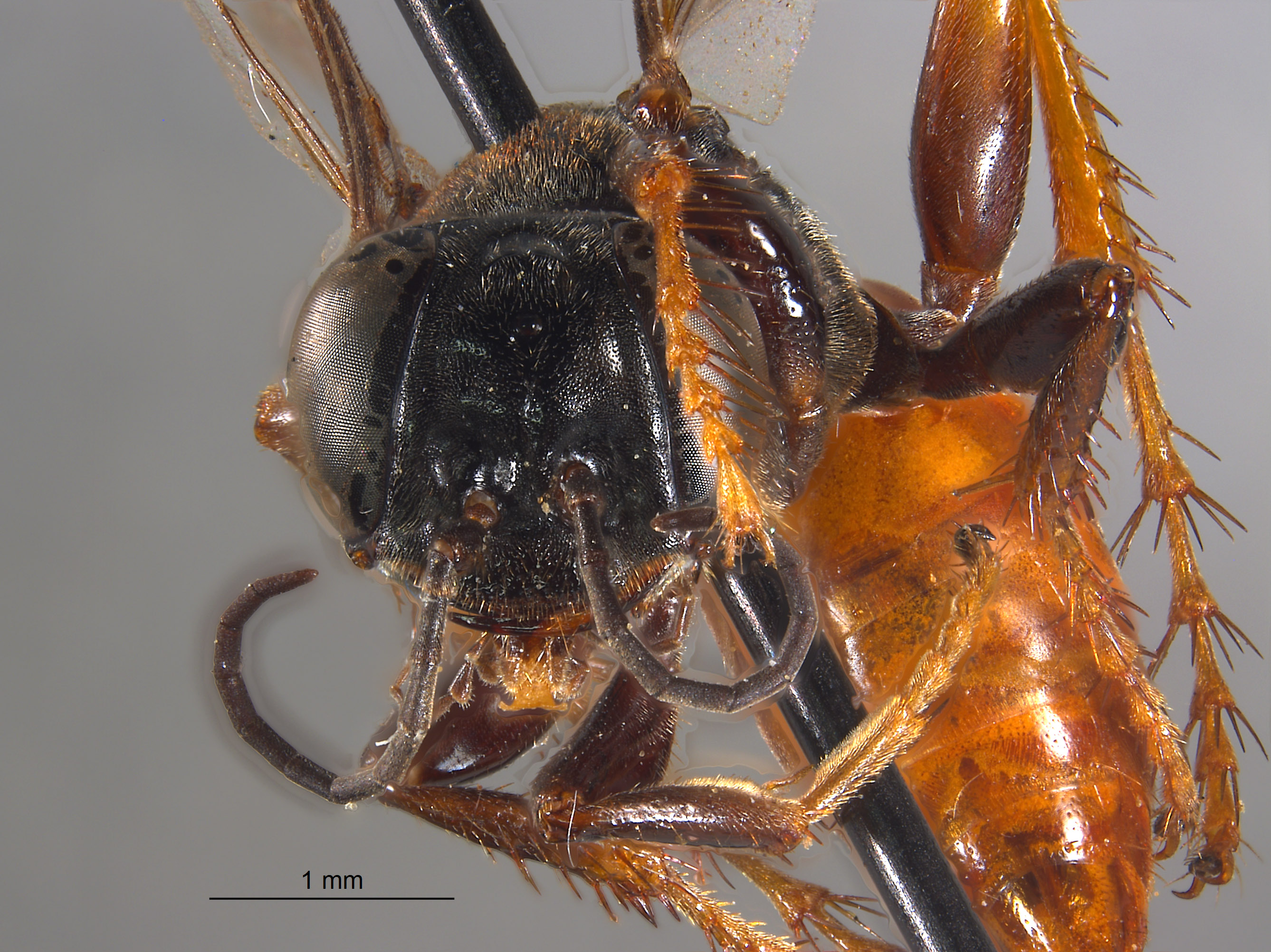 Larropsis lucida image