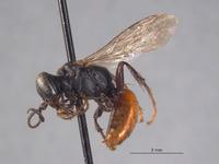 Larropsis striata image