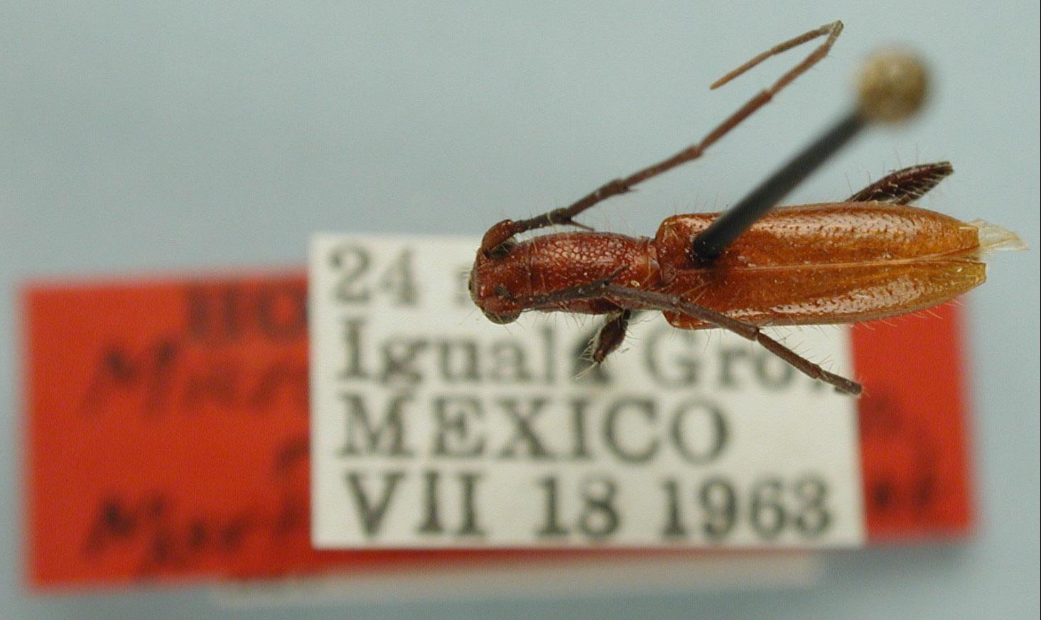 Micropsyrassa reticulata image