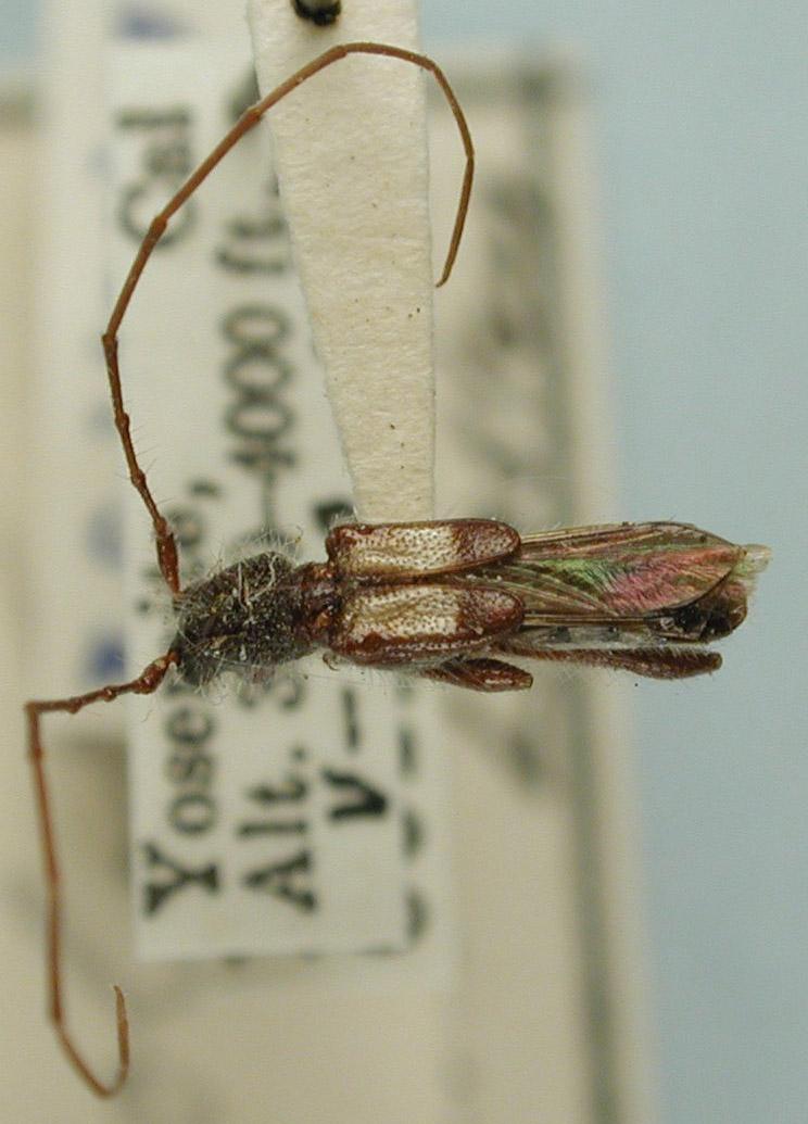 Molorchus bimaculatus image