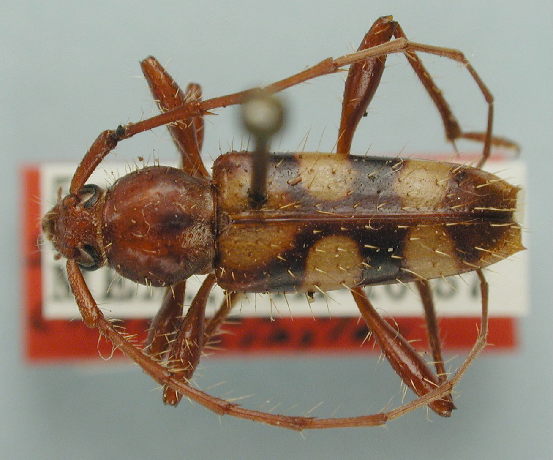 Sphaerionillus castaneum image
