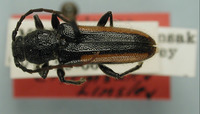 Image of Zagymnus variatus