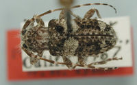 Image of Poliaenus abietis