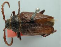 Image of Prionus rhodocerus