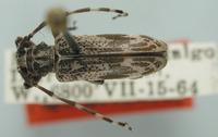 Image of Tigrinestola howdeni
