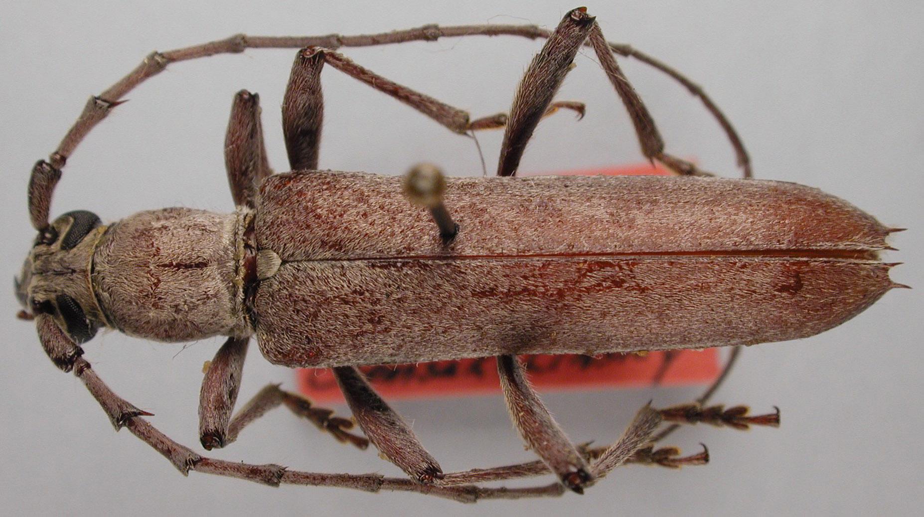 Aneflus sericatus image