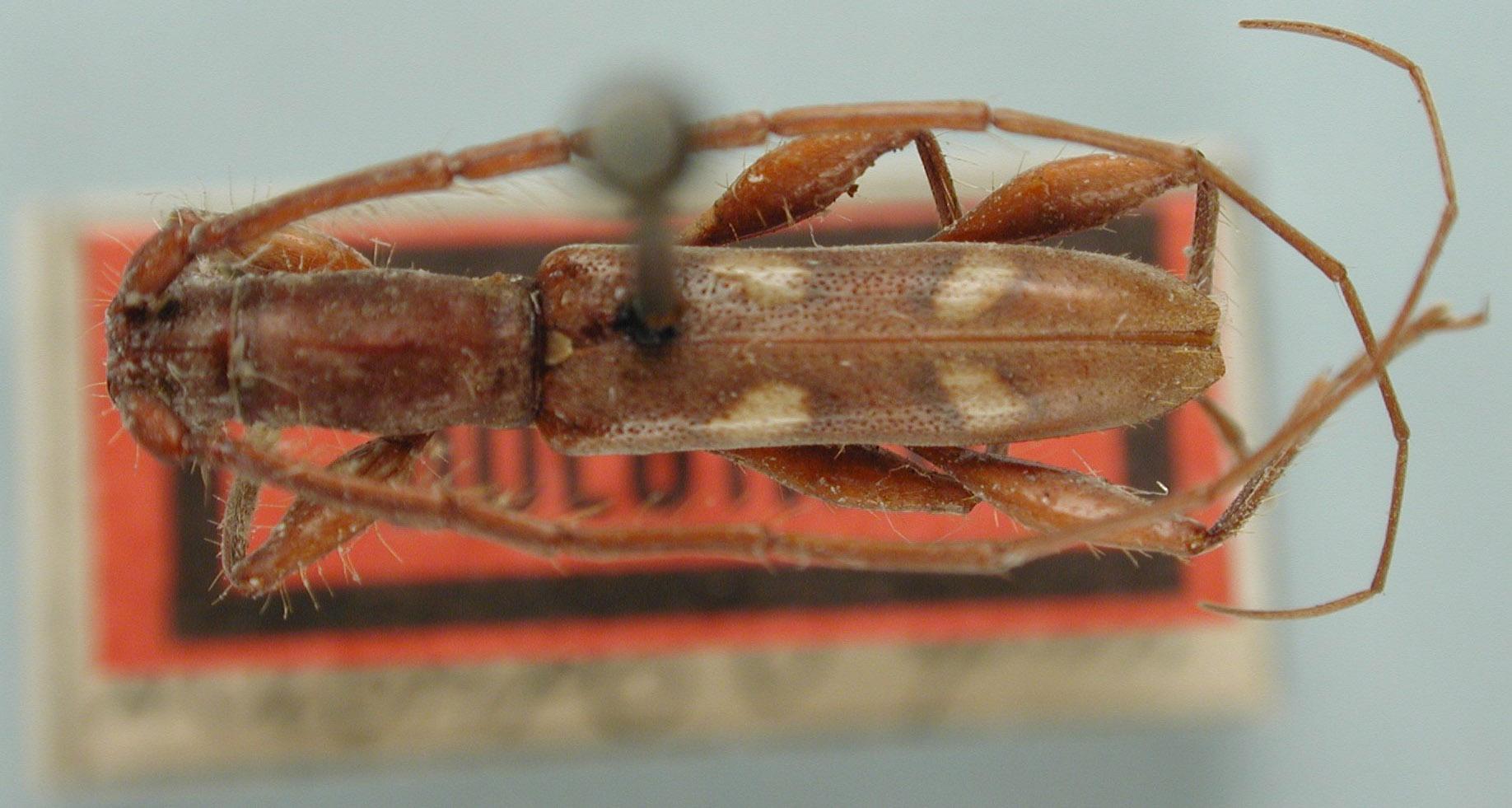Neocompsa macroscina image
