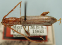 Image of Neocompsa chemsaki