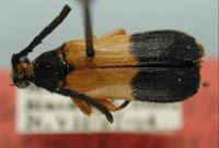 Image of Megachoriolaus chemsaki