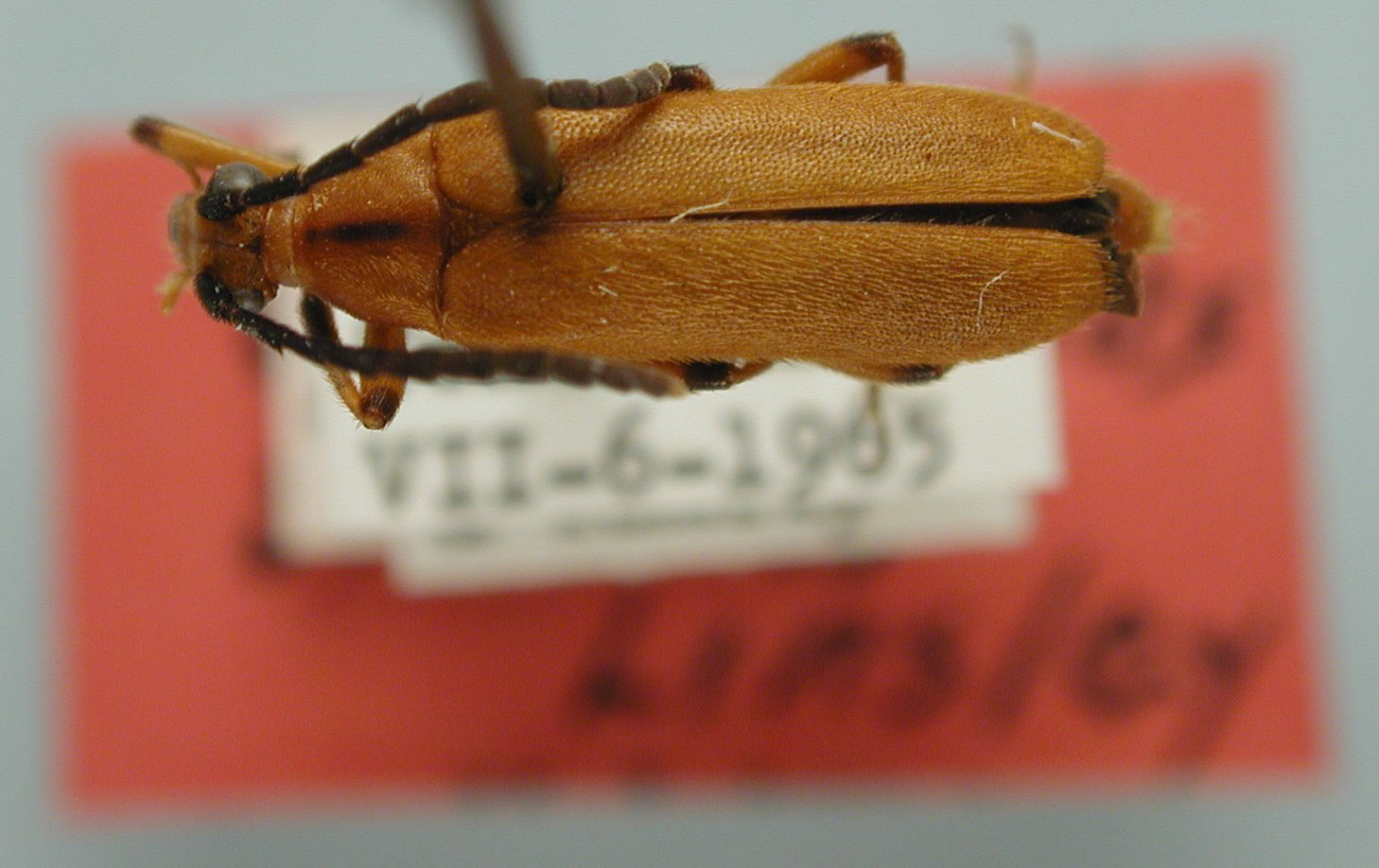 Choriolaus similis image