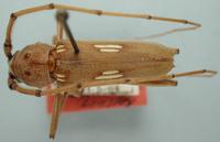 Image of Eburia sinaloae