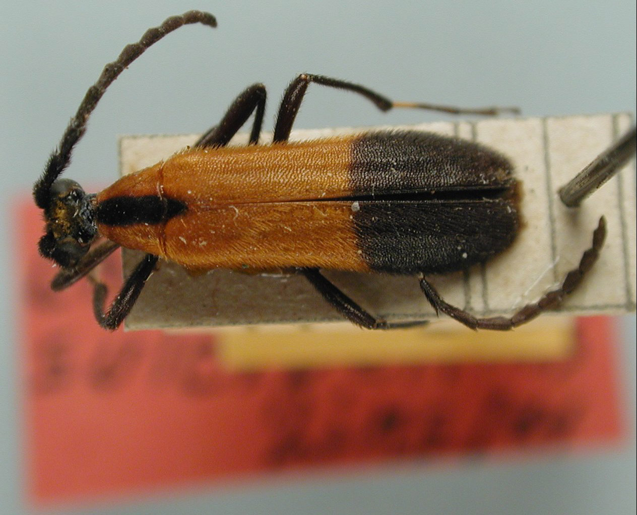 Choriolaus sulcipennis image