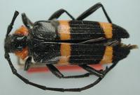 Image of Chemsakia subarmata