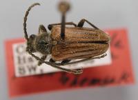 Image of Brachysomida vittigera