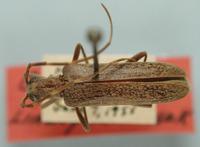 Image of Centrodera minima