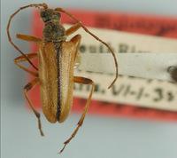 Image of Cortodera bivittata