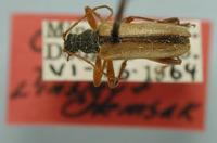 Image of Cortodera fraudis