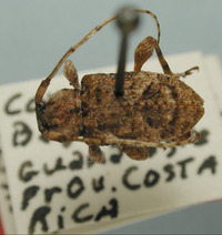 Image of Leptostylus spermovoratis