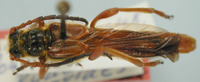 Image of Necydalis rudei