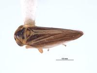 Image of Austroagallia arrhenonigra