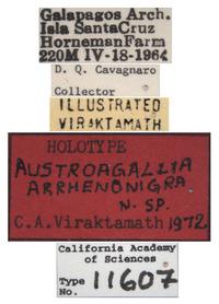 Austroagallia arrhenonigra image