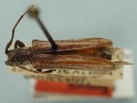 Image of Cylindrataxia mexicana