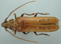 Image of Praxithea peruviana