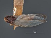Eupteryx vanduzeei image