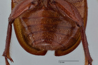 Liogenys ophtalmicus image