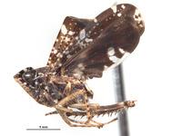 Sandersellus ornatus image