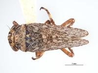 Image of Lystridea wilkeyi