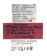 Megachoriolaus nigricollis image