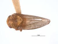 Image of Gargaropsis filialis