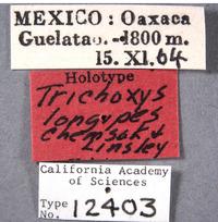 Trichoxys longipes image