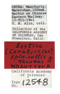 Lestica spinicollis image