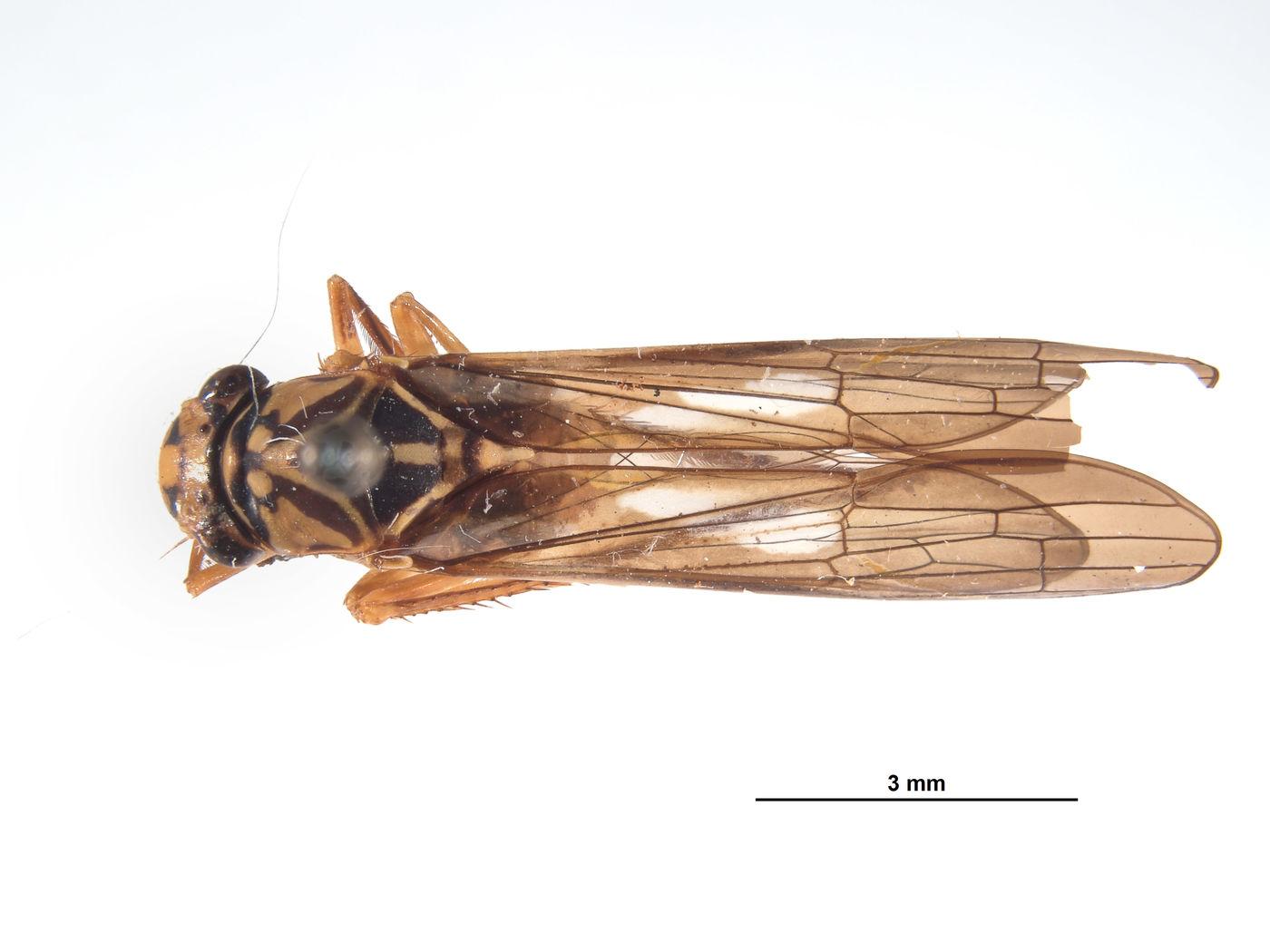 Lissoscarta pereneensis image