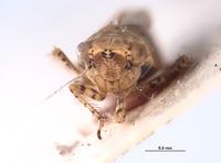 Amplicephalus saltensis image