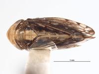 Image of Huachia flavolineata