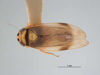 Image of Mocoa elegans