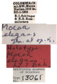 Mocoa elegans image