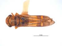 Dilobopterus adocetus image